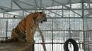 Тигр vs. Витаса. Big cats. Barnaul zoos. 老虎唱歌