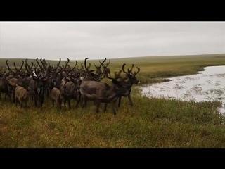 Вечную мерзлоту спасут олени