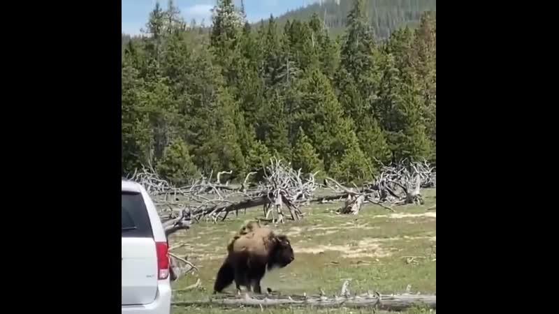 Борьба за выживание бизона и гризли 🐻