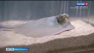 В Петербургском океанариуме впервые родился морской скат