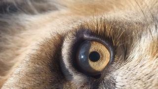 Глаз льва крупным планом \ Eye of the lion, close-up