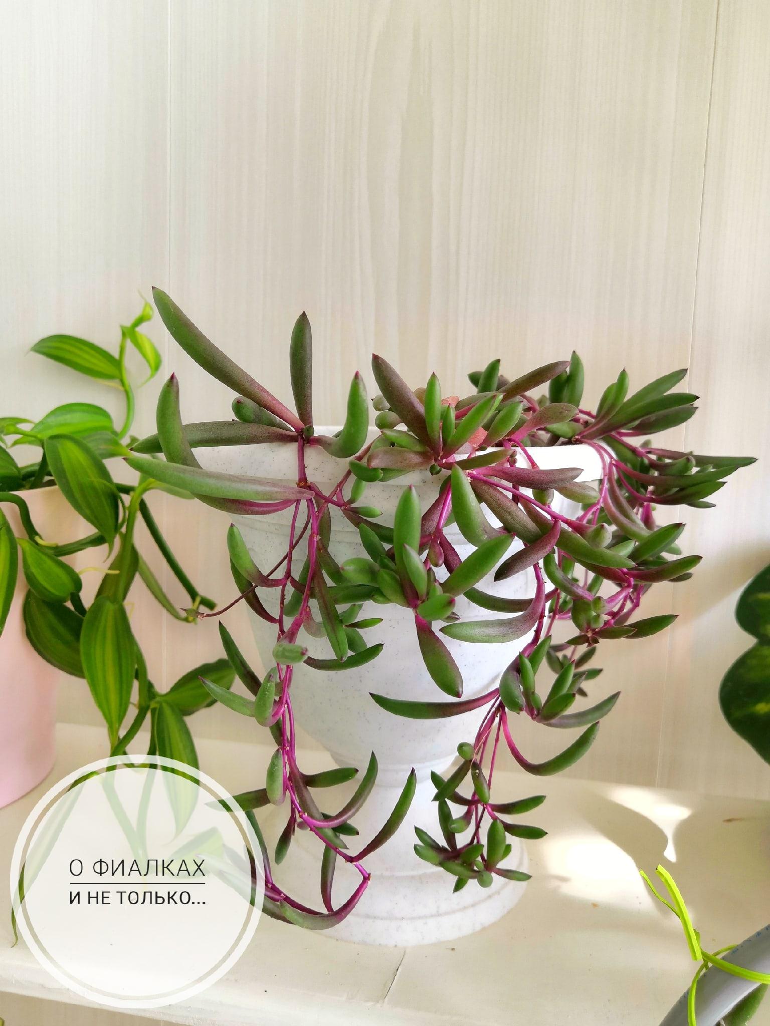 Оттона мясистая Рубиновое Ожерелье (othonna capensis 'ruby necklace) PZskB6j5q0A