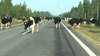Стадо коров в Белоруссии. A bunch of funny cows in Belarus. Un troupeau des vaches en Bielorussie