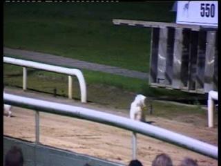 Adidas Wins a Terrier race at Newbridge Greyhound Track :-)