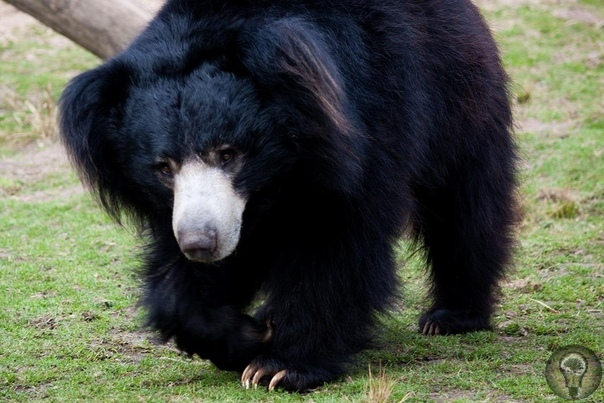 Медведь-губач.