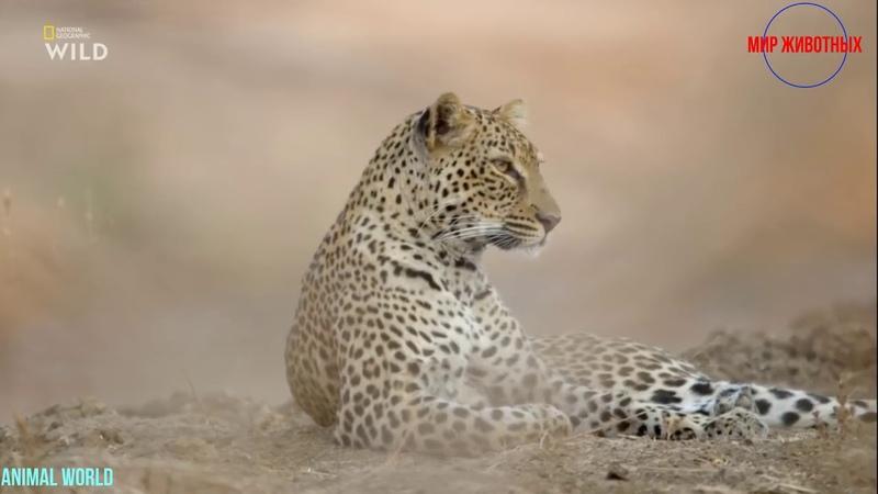 Африканские охотники Фильм 15 Леопард который сменил цвет своих пятен