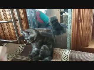 Продаем шотландских котят .